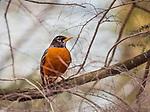 Robin. Adult female.