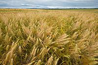 Ripening barely grain heads in Delta Junction, Alaska.