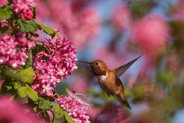 Male Rufous Hummingbird (Selasphorus rufus) nectaring on Red-flowering Currant (Ribes sanguineum).  Western Washington.  April.