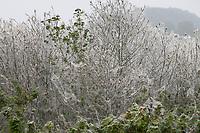 Pfaffenhütchen-Gespinstmotte, Pfaffenhütchen-Gespinnstmotte, Gespinstmotte, Gespinnstmotte, Raupen, Raupengespinst an Pfaffenhütchen, Pfaffenhütchengespinstmotte, Pfaffenhütchengespinnstmotte, Yponomeuta cagnagella, Yponomeuta cagnagellus, spindle ermine, caterpillars, Le Grand hyponomeute du fusain, Gespinstmotten, Gespinnstmotten, Yponomeutidae, Small Ermine moths, ermine moth, ermine moths, Le Grand hyponomeute du Fusain, Le Hyponomeute parente