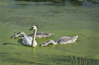 Trumpeter Swan (Cyngus buccinator) with cygnets feeding on duckweed covered pond, Western U.S., Sept.  Duckweed is an important high-protein food source for waterfowl.