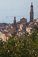Europe/France/06/Alpes-Maritimes/Menton: La vieille ville  avec l'église Saint-Michel et son campanile et en premier plan des plantations de citronniers