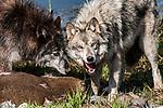 grey wolf 2 shot feeding on deer carcass, medium view