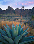 Big Bend National Park, TX<br /> Agave and the Chisos Mountain Range with pink clouds at sunset