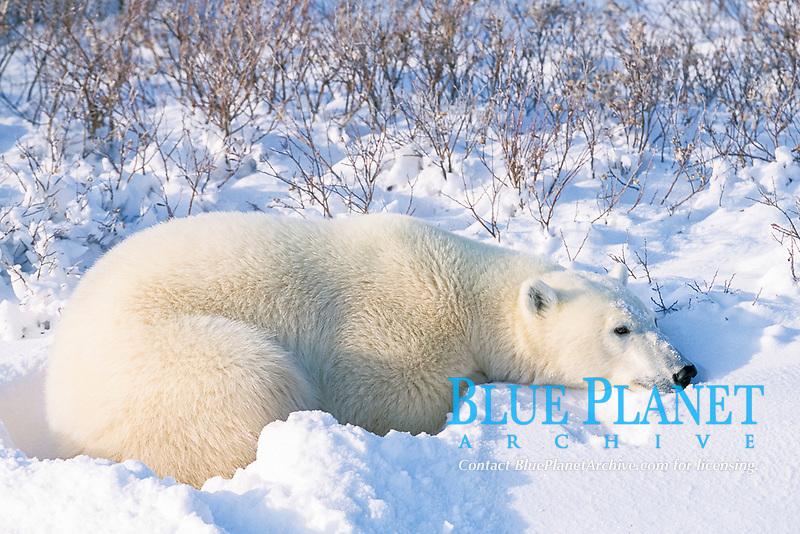 adult polar bear, Ursus maritimus, resting in day bed of fresh snow, Hudson Bay, Manitoba, Canada, Arctic, polar bear, Ursus maritimus
