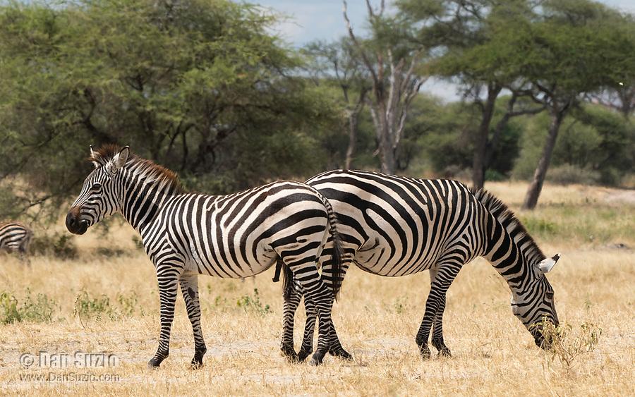 Grant's Zebras, Equus quagga boehmi, in Tarangire National Park, Tanzania