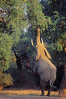African Elephant bull (Loxodonta africana) feeding on tree branches--reaches up and breaks off branch with his trunk.  Mana Pools National Park, Zimbabwe,  Africa.  A big bull can forage upto 20 feet--higher than a giraffe can reach.