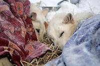 Thursday March 8, 2007   ----  Two of Scott Smith's lead dogs rest under blankets at Takotna on Thursday morning.