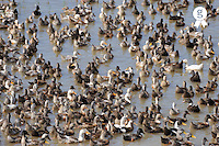 Flock of Ducks in pond (Licence this image exclusively with Getty: http://www.gettyimages.com/detail/83154208 )