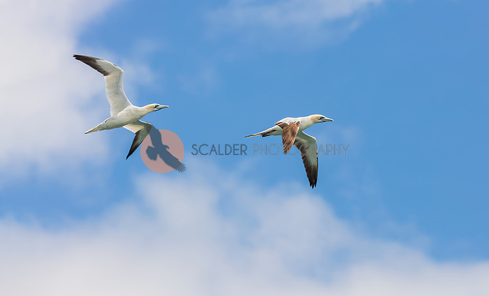 Two Northern Gannets in flight against blue sky with puffy clouds