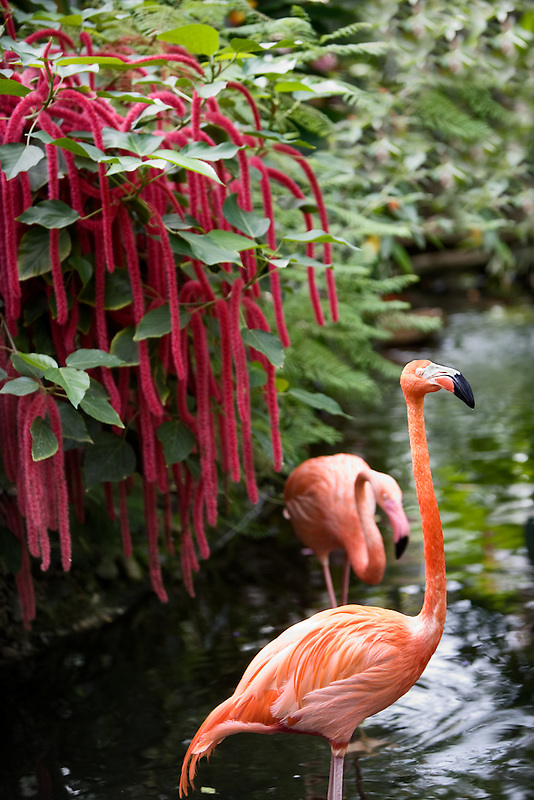 Pond with flamingos, red Chennile. Victoria Butterfly Gardens, Victoria, B.C.