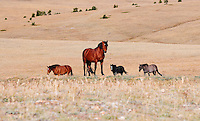 Bay stud, leader of this family of wild horses waits for the other to catch up as they head for a water hole.