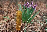 Rain gauge in garden with flowering hyacinth bulbs, scilla, conservation, measurement