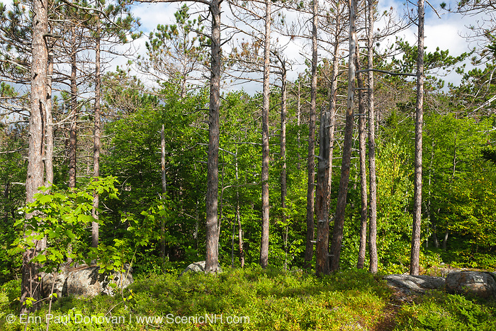 Red Pine Rocky Ridge Community during the summer months along the Moat Mountain Trail near South Moat Mountain in Albany, New Hampshire USA.