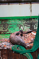 Greenland shark Somniosus microcephalus caught as bycatch in bottom trawl lying on trawl deck Barents sea North Atlantic