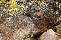 Fernbird (Megalurus punctatus caudatus), Snares subspecies foraging in the Snares islands, New Zealand.