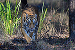 Female Bengal tiger (Panthera tigris tigris) stalking through forest. Bandhavgarh National Park, Madhya Pradesh, Central India.