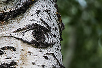 With imagination, an eye peers out from the white and black bark of an aspen tree in Colorado's Rocky Mountains.