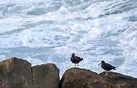 Black Oystercatchers, Haemantopus bachmani, on the Pacific coast in Sonoma County, California