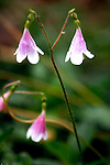 Twinflower (Linnaea borealis), a tiny plant with 1 mm blossoms, adorns a healthy forest floor along the banks for the Chewuch River in Washington's Methow Valley near the Pasayton Wilderness and the town of Winthrop.  The Chewuck is a major tributary of the Methow River.
