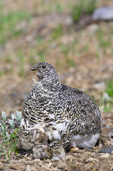 White-tailed Ptarmigan (Lagopus leucurus) mother with young chicks.  Mount Rainier National Park, WA.  Summer.