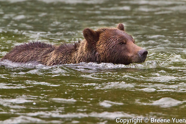 Grizzly Bear Swimming across a river crossing at Butte Inlet