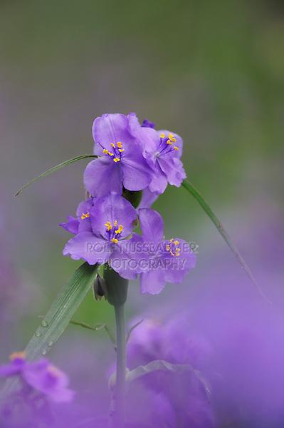 Prairie Spiderwort (Tradescantia occidentalis), blooming, Palmetto State Park, Gonzales County, Texas, USA