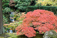 Japanese Maple in red and orange Fall colors and Heavenly Falls in the back ground or the Portland Japanese Garden