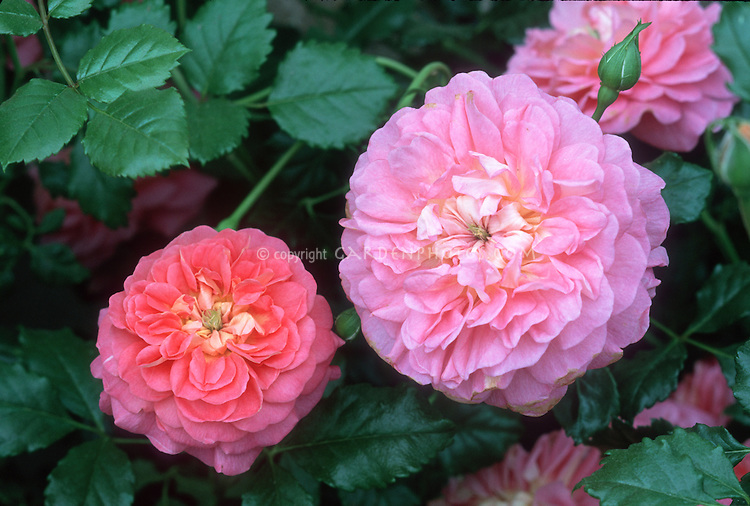 Rose Christopher Marlowe, English roses pink