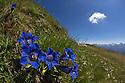 Trumpet / Stemless Gentian {Gentiana acaulis} Nordtirol, Austrian Alps. June.