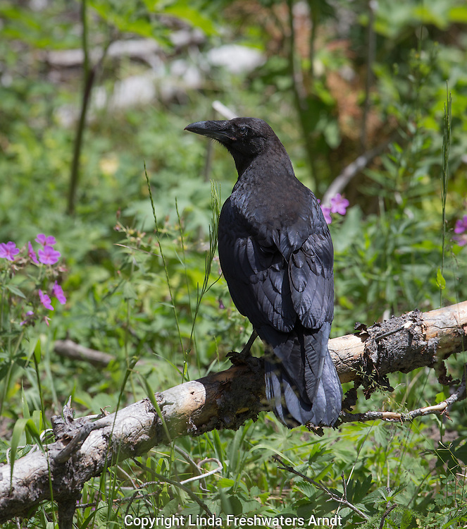 Common raven in Yellowstone National Park