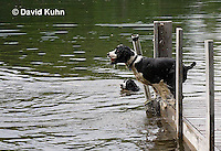 0808-0810  English Springer Spaniel Jumping off Dock into Water, Canis lupus familiaris © David Kuhn/Dwight Kuhn Photography.