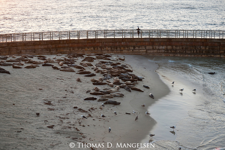 A person watches harbor seals laying on the children's pool beach at dusk from the seawall in La Jolla, California