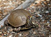 JEAN BERG box turtle