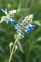 Bog sage (Salvia uliginosa), late August