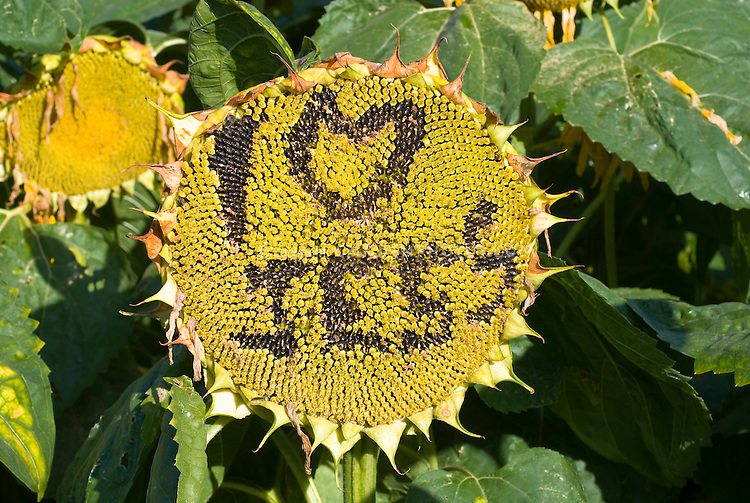 Romantic gesture in the garden: Carved sunflower seed head with name, I heart Jess, love, engraved personalization of flower