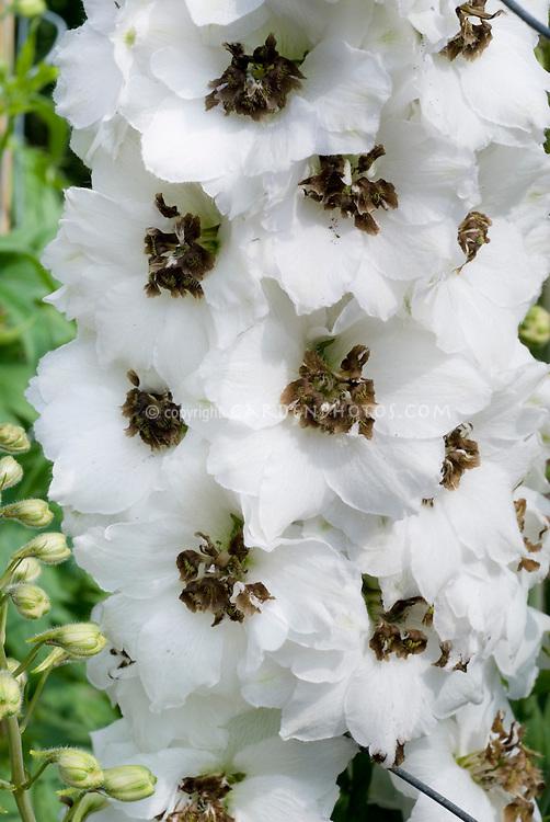 Delphinium 'Black Eyed Angels' white with black eyes, Millenium Series, white blooming summer perennial flowers