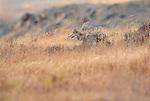 Coyote, Washington, USA
