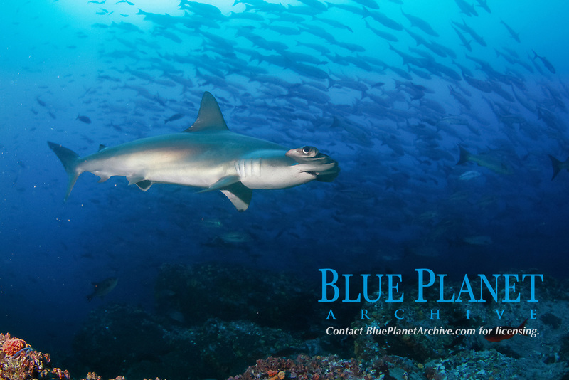 scalloped hammerhead shark, Sphyrna lewini, also known as the bronze, kidney-headed or southern hammerhead, endangered scalloped hammerhead shark swimming, schooling with mixed fish, Cocos Island National Park, Costa Rica, Pacific Ocean