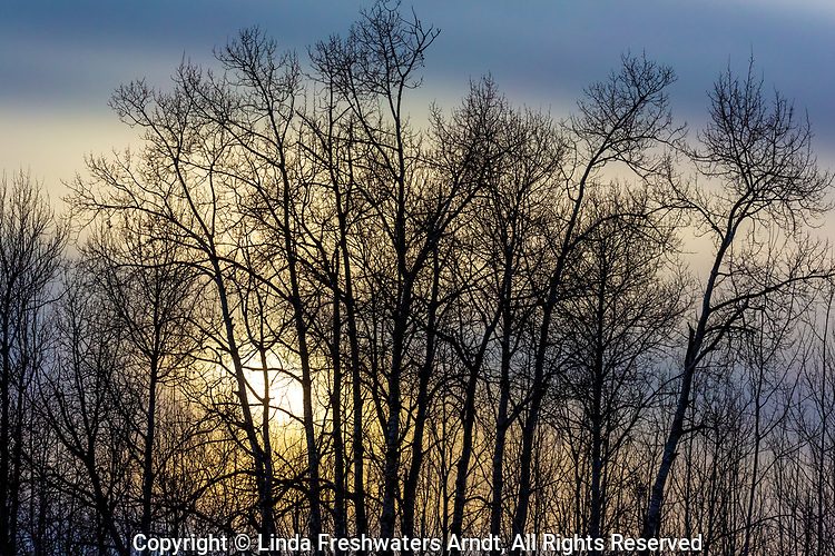 Quaking aspens revealing their intricate detail as the sun sets in northern Wisconsin.