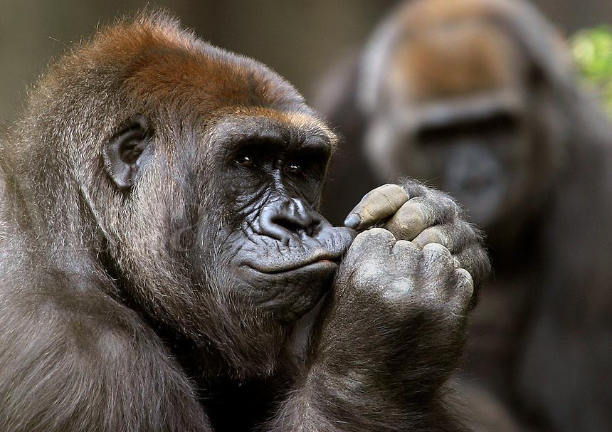 Gorilas, Gorilla gorilla, are the largest of all primates. Plant-eating animals.  Africa.<br />