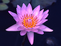 Blue-purple Water Lily