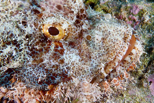 Tasseled scorpionfish ( Scorpaenopsis oxycephala ) underwater on a coral reef at Wakatobi, Southeast Sulawesi, Indonesia.