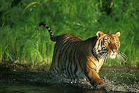 Bengal tiger (Panthera tigris) wading out into water,