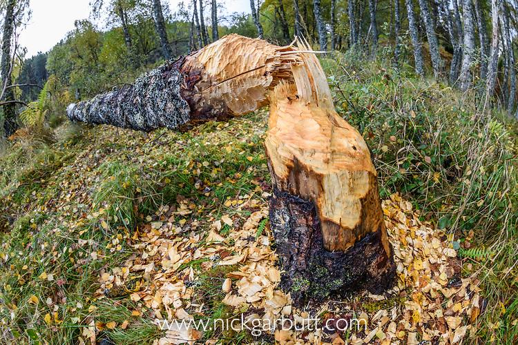 Downy Birch (Betula pubescens) felled by a Eurasian beaver (Castor fiber).  Shores of Loch Aigas. Aigas Field Centre, near Inverness, Scotland, , UK. October.