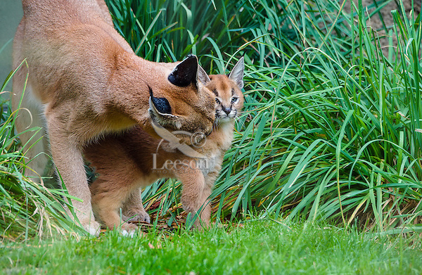 """Caracal (Caracal caracal) mom grooming/licking young kitten.  The word """"Caracal"""" comes from the Turkish word """"karakulak"""" which means """"black ear.""""  Caracals are found in Africa through Central Asia and India."""