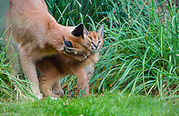 "Caracal (Caracal caracal) mom grooming/licking young kitten.  The word ""Caracal"" comes from the Turkish word ""karakulak"" which means ""black ear.""  Caracals are found in Africa through Central Asia and India."