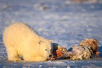 polar bear, Ursus maritimus, feeding on a bowhead whale, Balaena mysticetus, bone in the 1002 area of the Arctic National Wildlife Refuge, Alaska, polar bear, Ursus maritimus