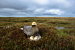 Female Emperor Goose (Chen canagica) at its nest about to sit on eggs. 75% of the world's Emperor Geese nest on the delta. Yukon Delta, Alaska. June.