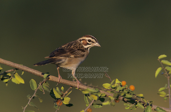 Lark Sparrow, Chondestes grammacus, adult on Desert Hackberry (Celtis pallida) , Willacy County, Rio Grande Valley, Texas, USA, June 2004